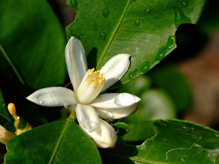 Preciosa flor de cítrico, ideal para conseguir un jardín más bonito