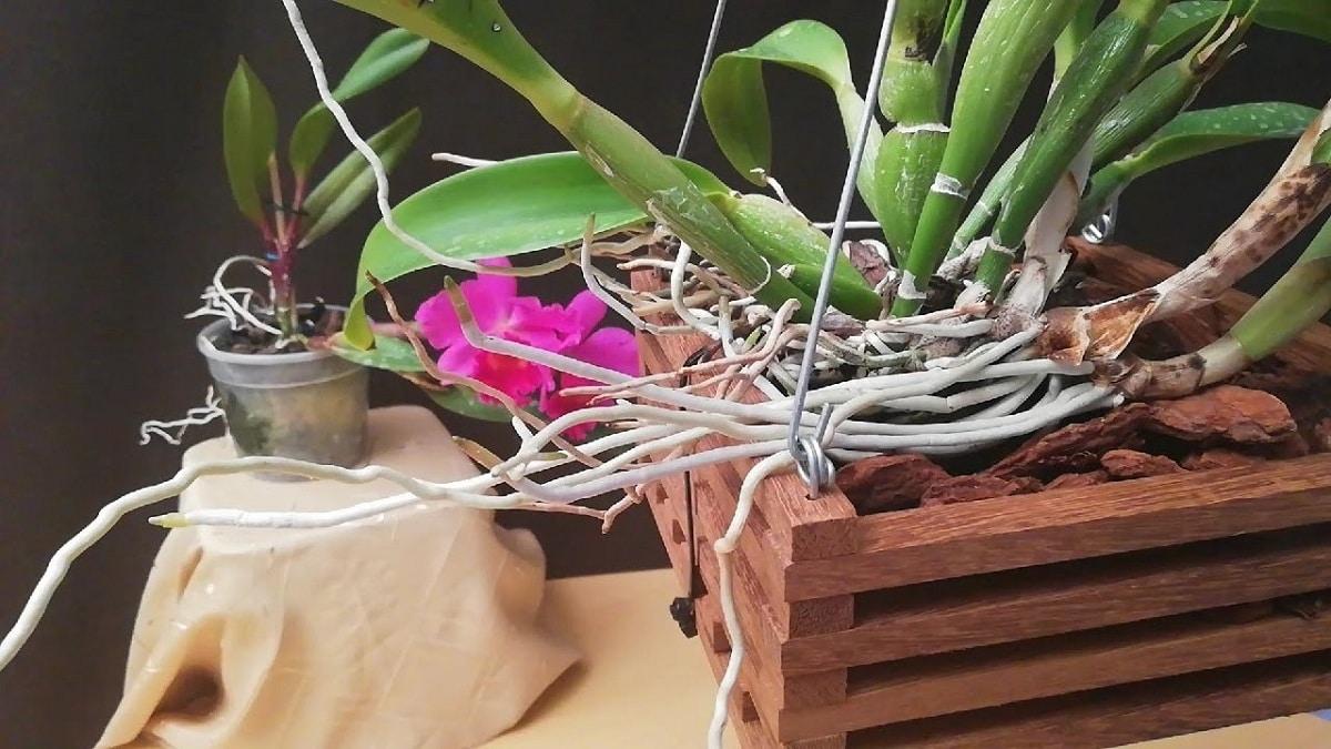 Descubre cómo trasplantar orquídeas