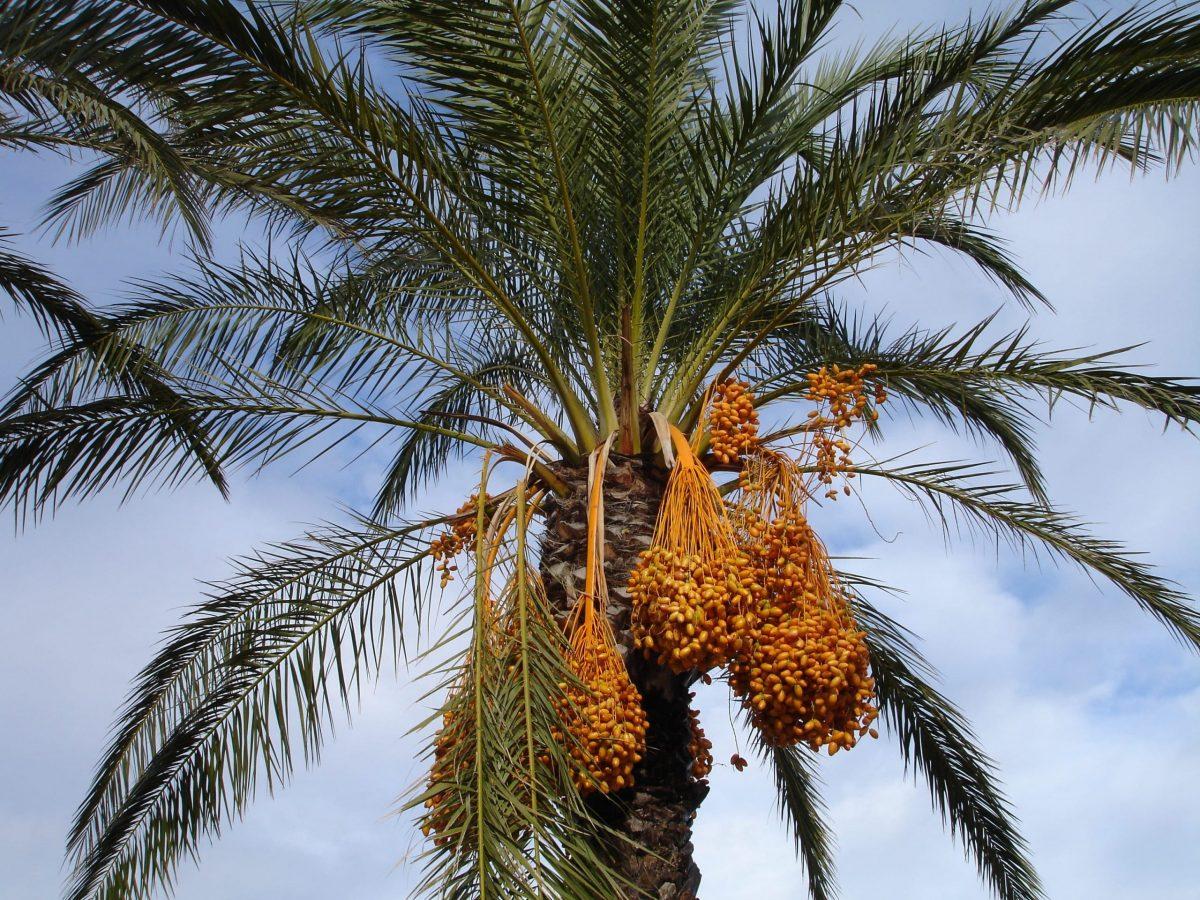 La datilera es una palmera que produce dátiles comestibles