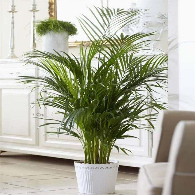 C mo cuidar una palmera en interior for Tipos de plantas para decorar interiores