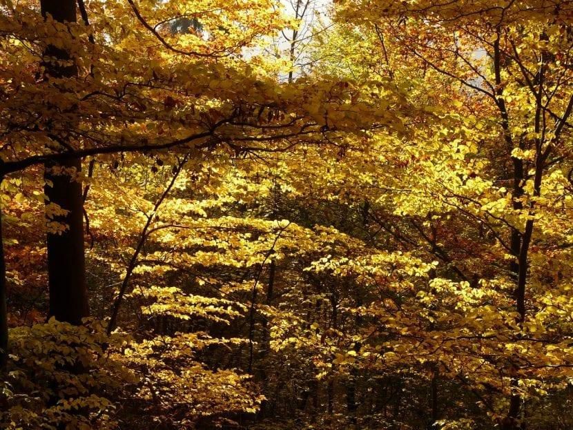 Fagus sylvatica (Hayas) en otoño.