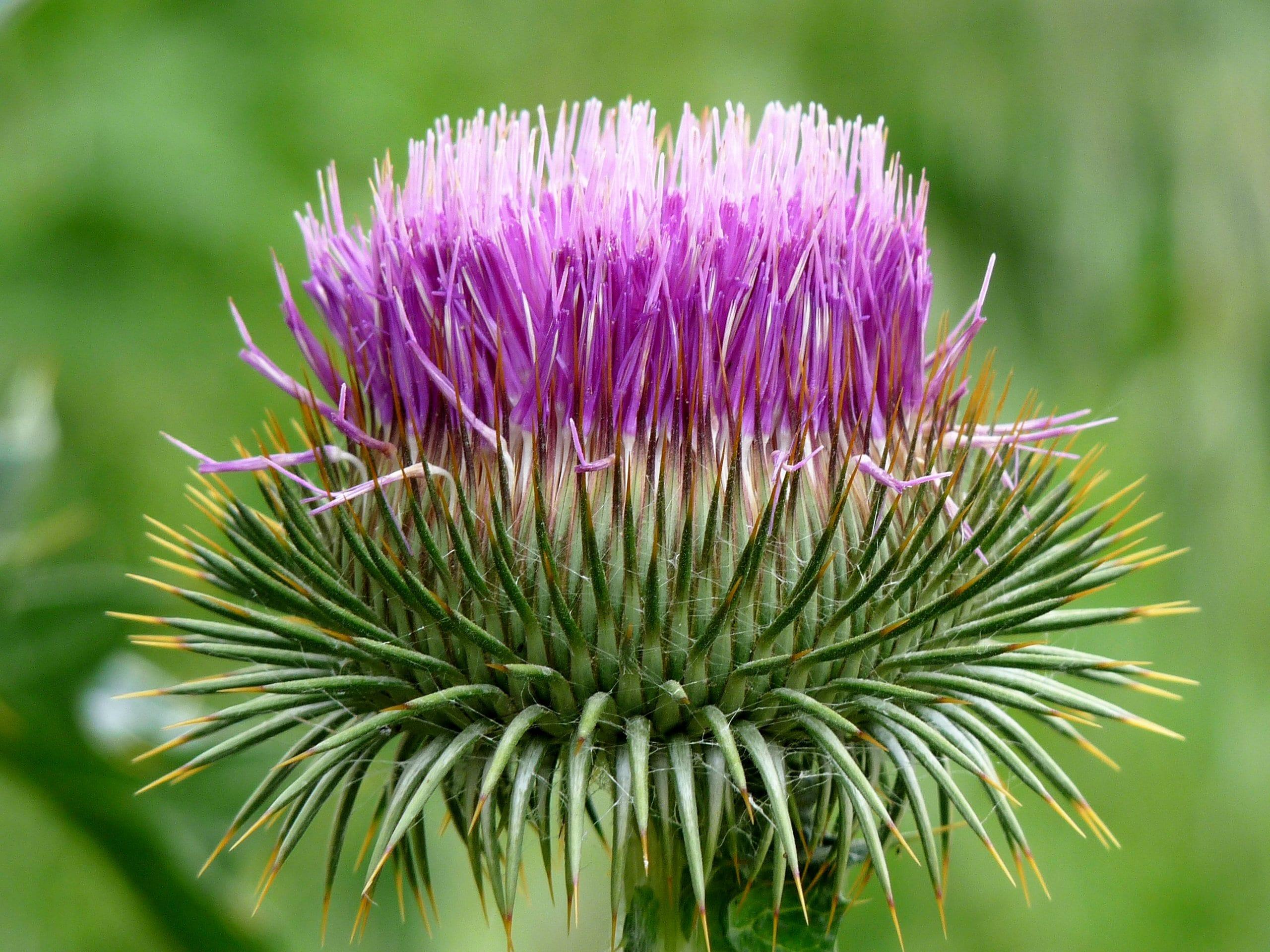 Flor Onopordum acanthium