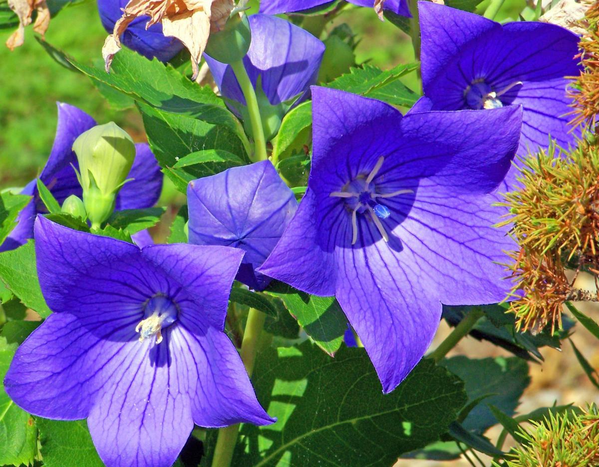 El platycodon es una planta que florece en primavera