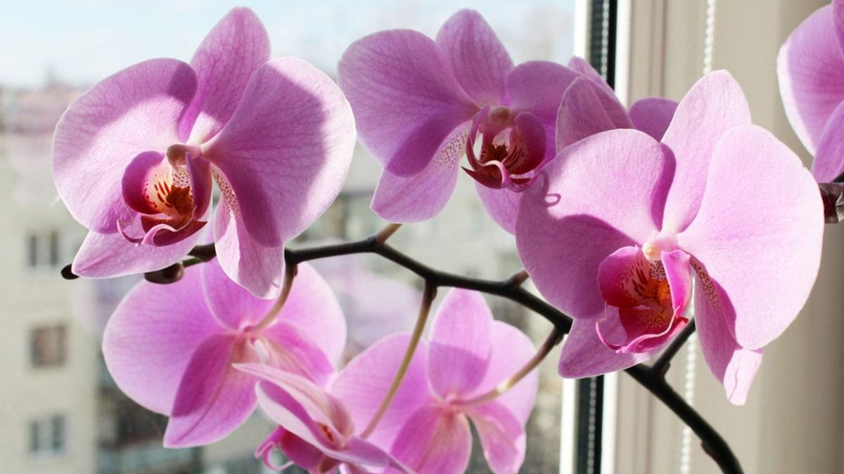 Las orquídeas se trasplantan en primavera
