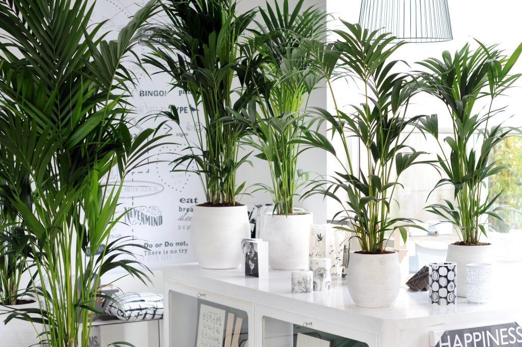Howea forsteriana, una palmera cultivada en interior y en exterior