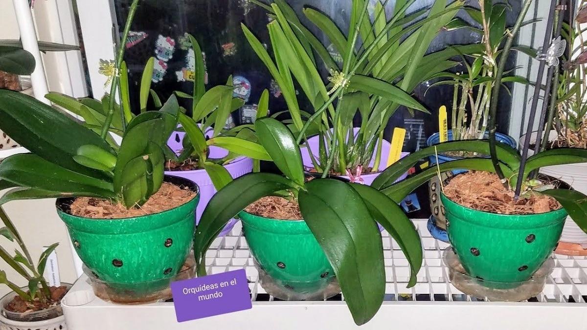 El trasplante de orquídeas se hace con cuidado