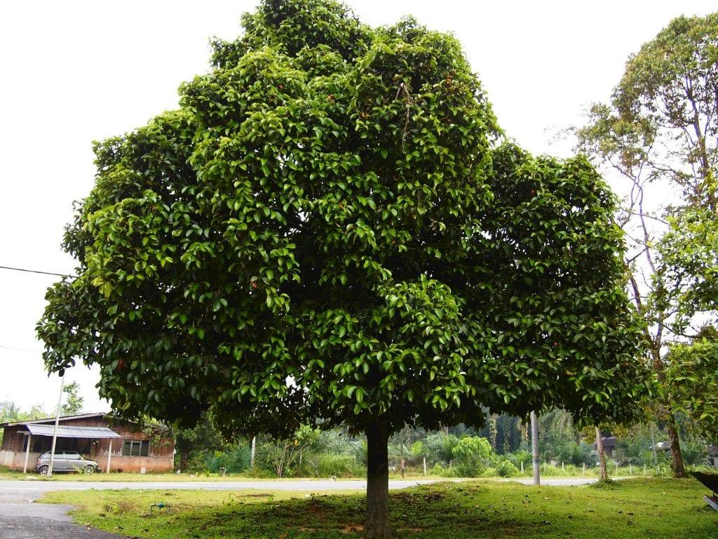 Árbol de mangostino