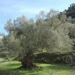 Olea europaea, conocido como olivo