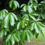 Hojas de un árbol adulto de Pachira