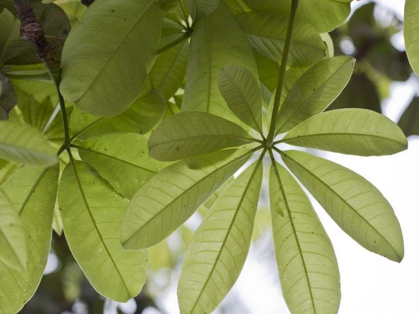 Preciosas y grandes hojas de la Pachira aquatica