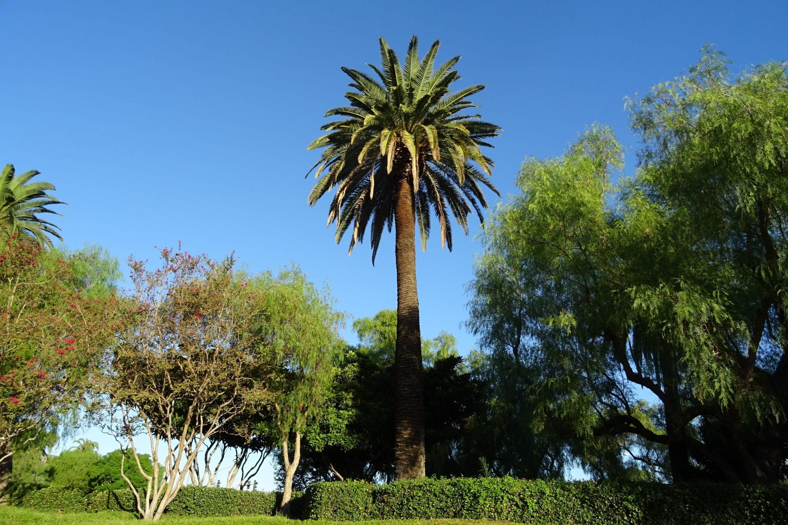 La palmera canaria tiene un solo tronco