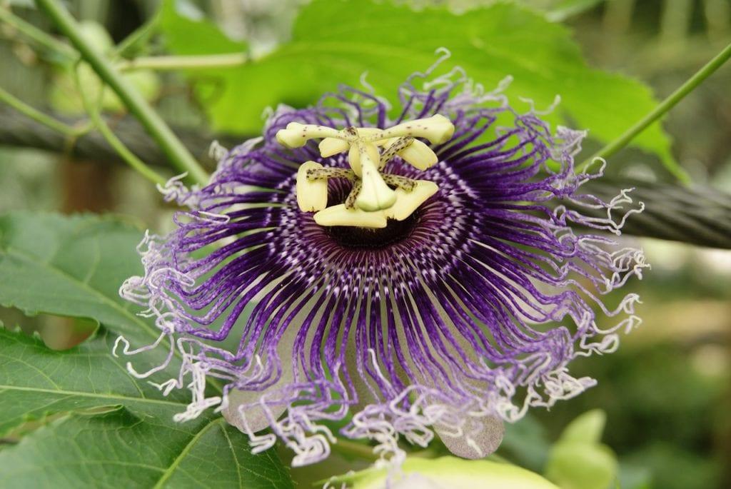 Passiflora incarnata en flor