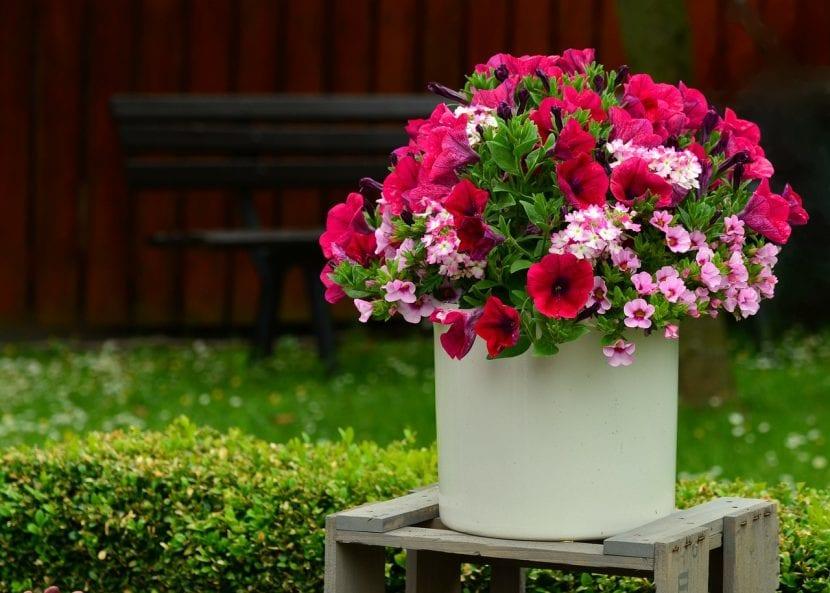 Cuida tus petunias plantándolas en maceta con sustratos que drenen bien