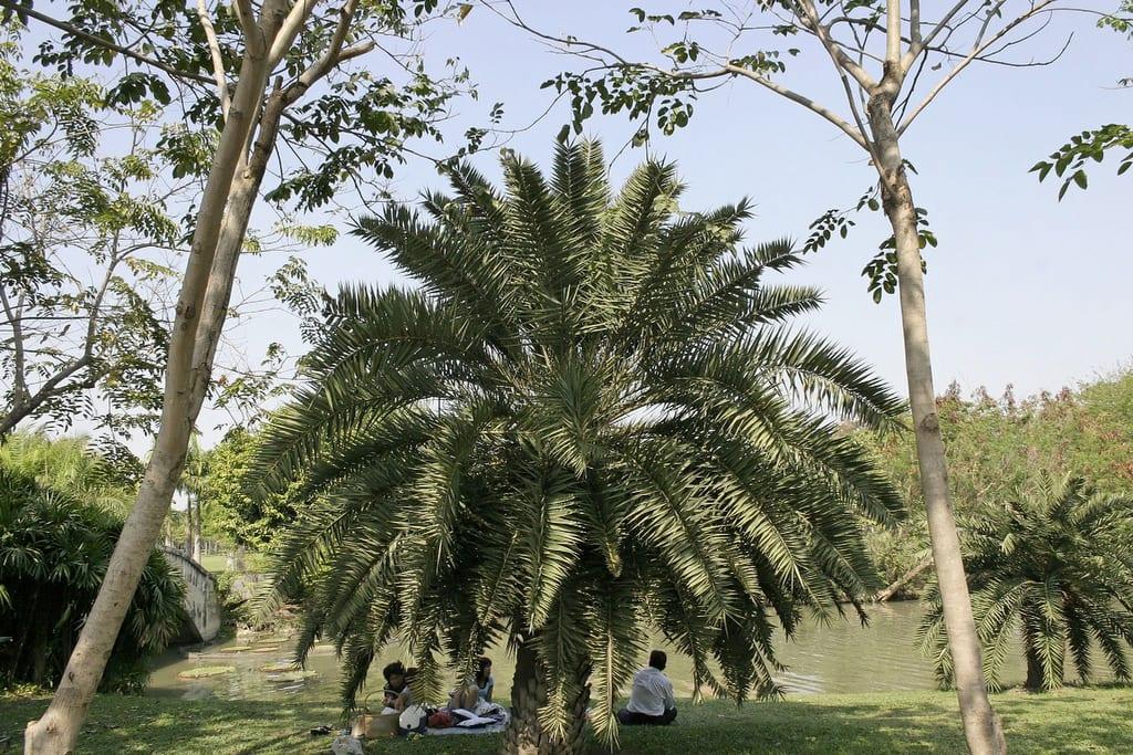 Phoenix lourerioi, una palmera con muchas hojas