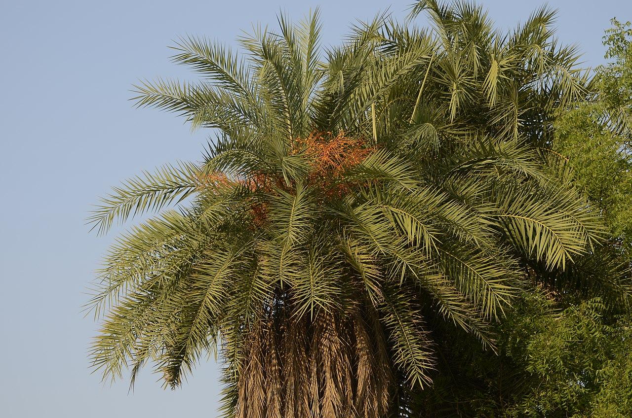 La Phoenix sylvestris es una palmera de un solo tronco