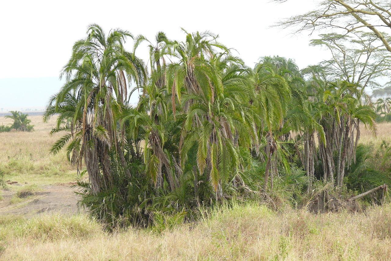 La Phoenix reclinata es una palmera de varios troncos