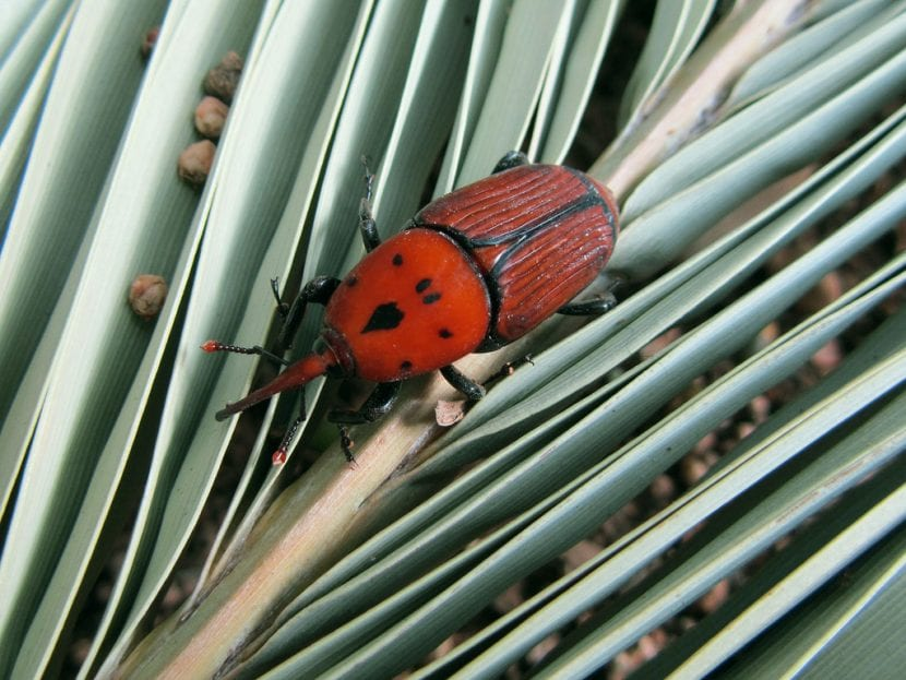 Picudo rojo en una hoja de palmera