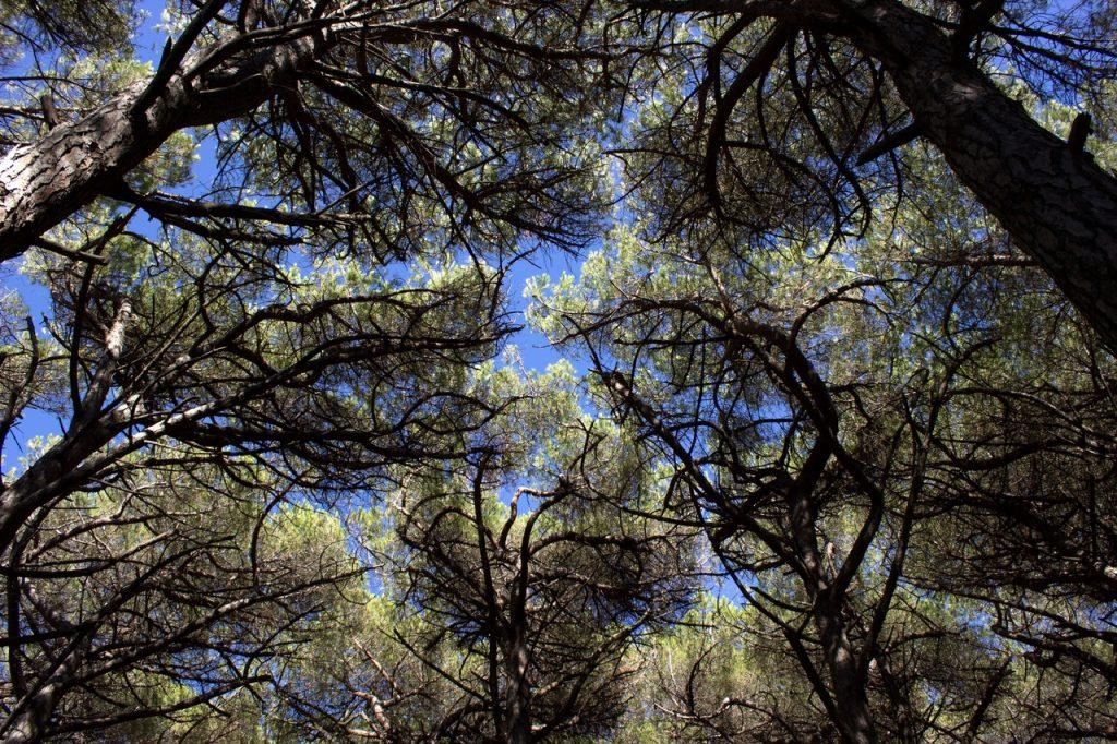 Los pinos piñoneros son plantas mediterráneas