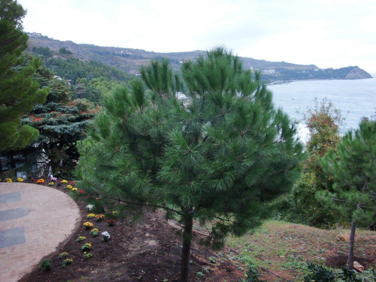 El Pinus pinea es un árbol