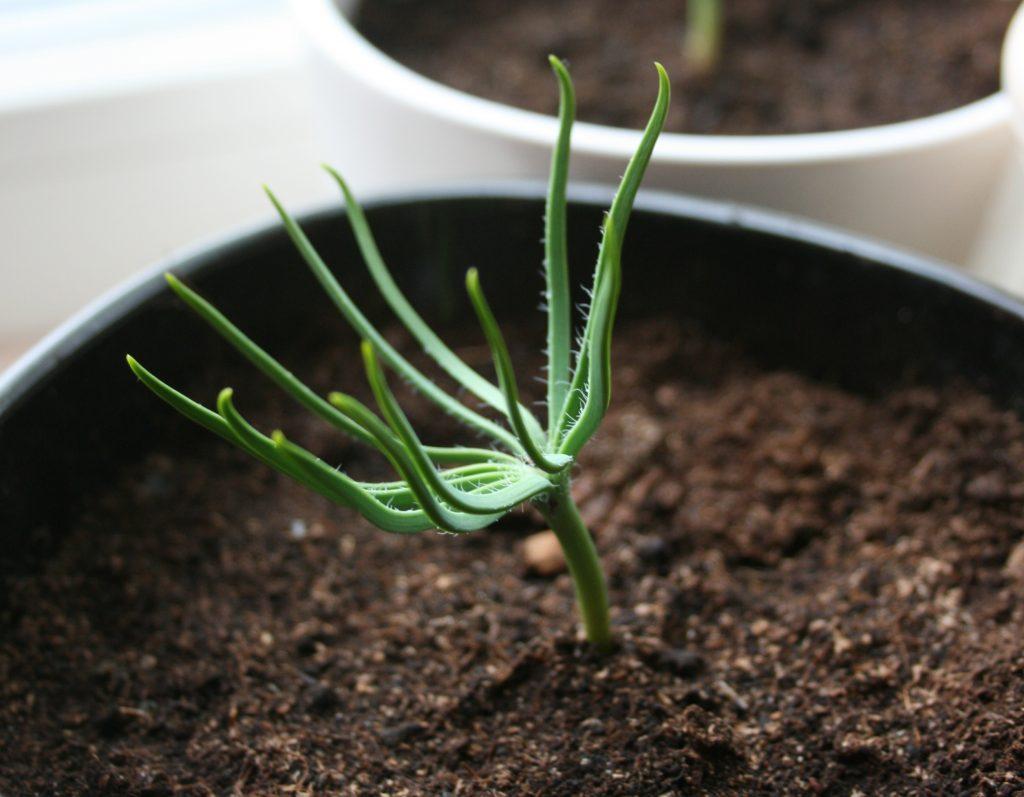 El pino piñonero se multiplica por semillas