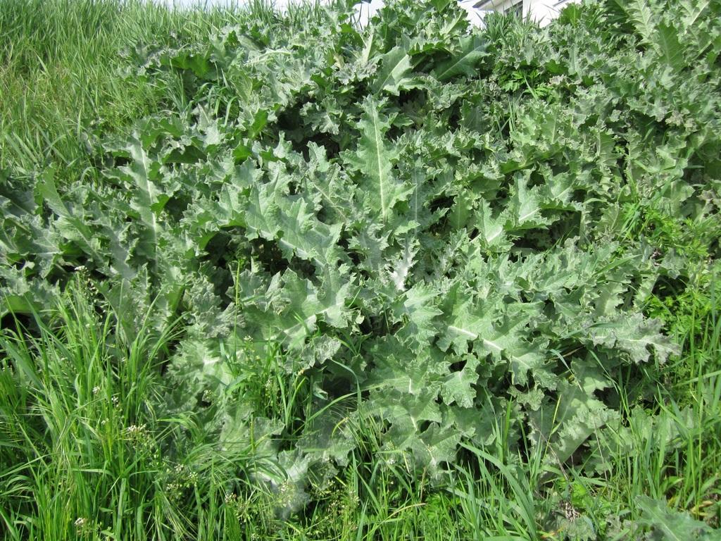 El cardo borriquero es una hierba