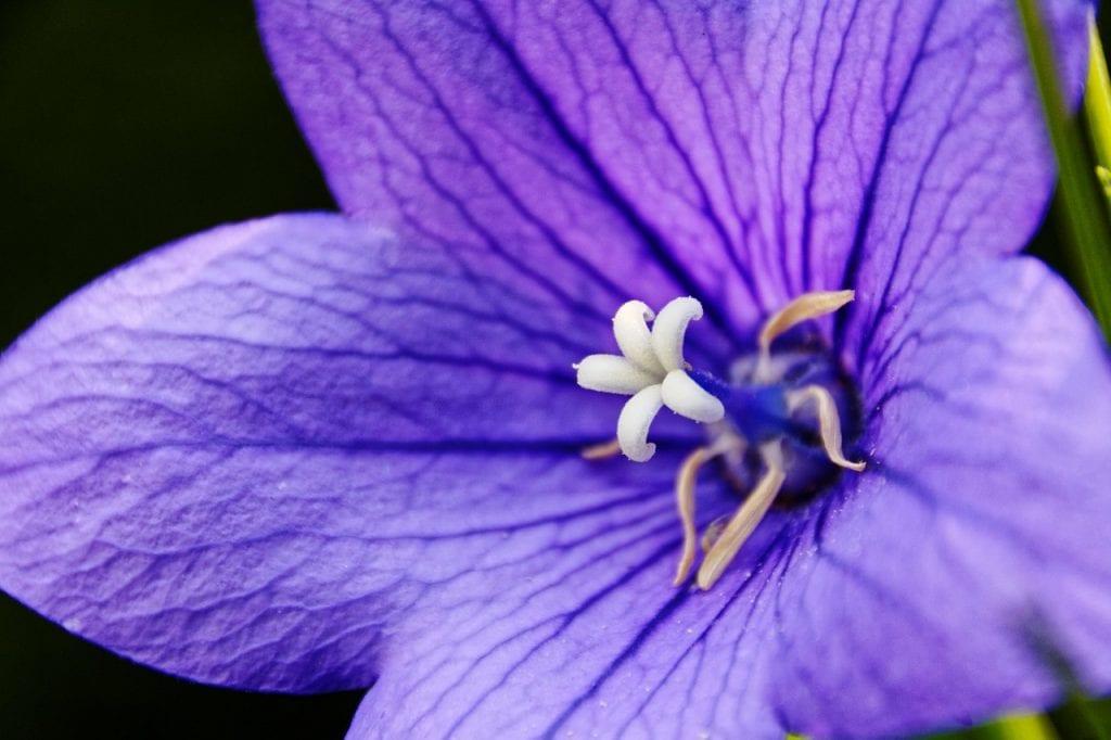 Platycodon en flor