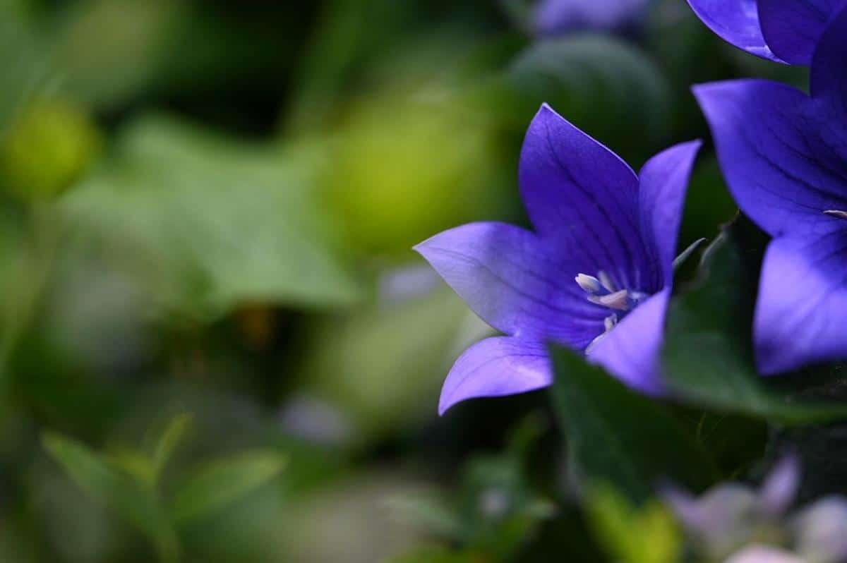 El Platycodon es una hierba de flores con forma de campana