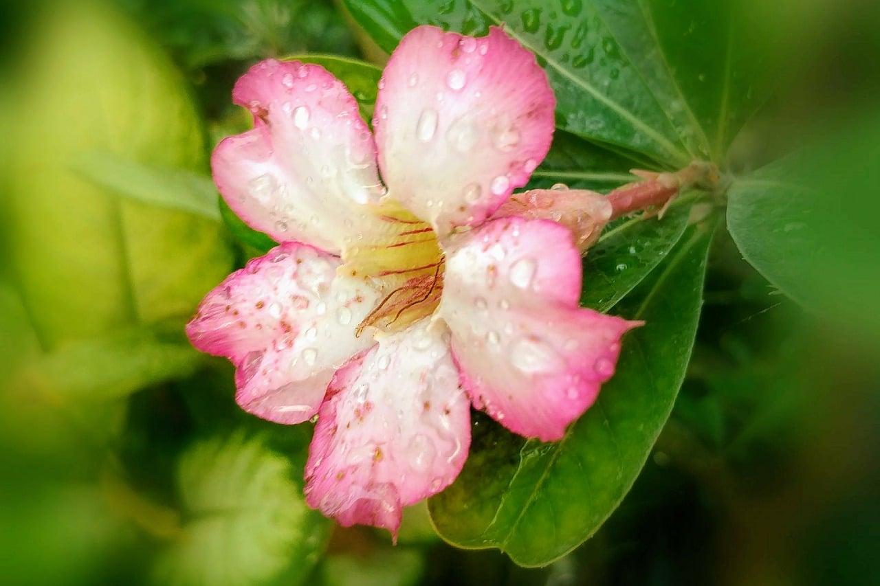 La rosa del desierto es una planta con caudex