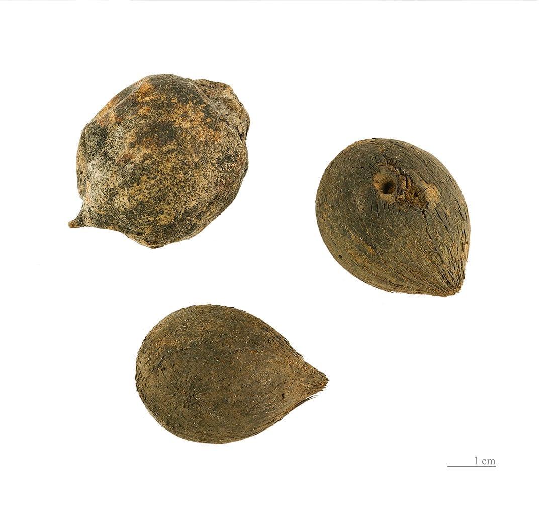 Semillas de Astrocaryum