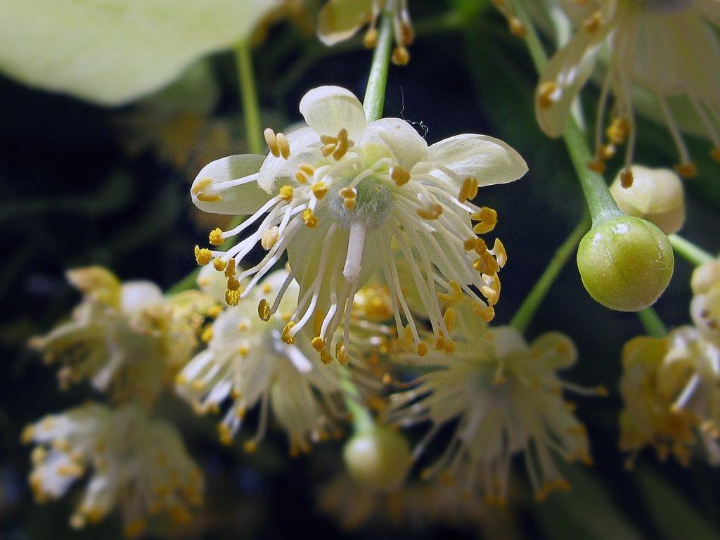 Flores del tilo