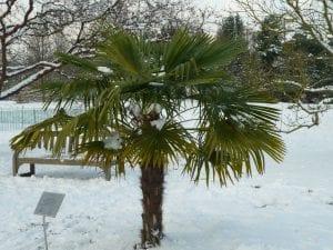 Trachycarpus fortunei, una palmera que resiste bien el frío