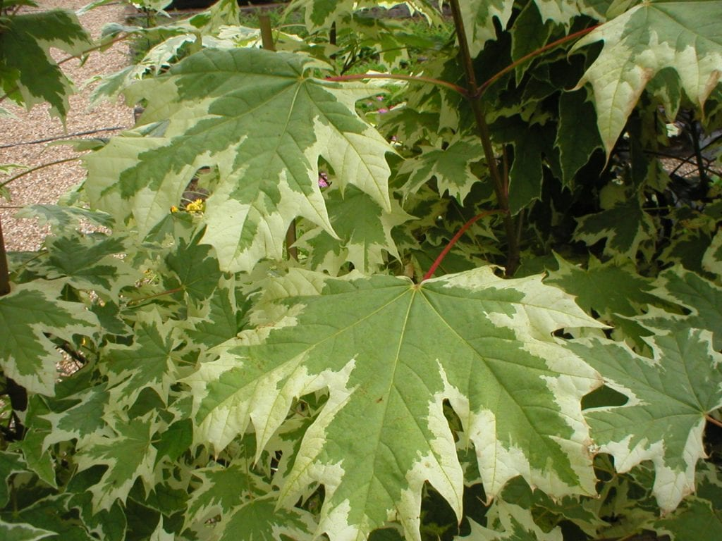 A. platanoides ''Drummondii'' Imagen - Chewvalleytrees.co.uk