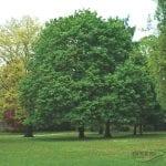Vista de un Acer platanoides