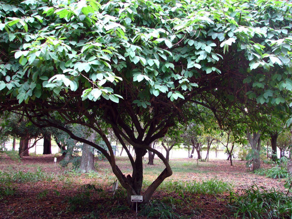 Árbol de Annona cherimola, una planta tropical