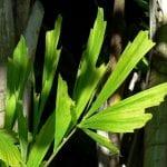 Hoja bipinnada de la palmera Caryota