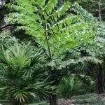 Caryota obtusa, una palmera con hoja bipinnada