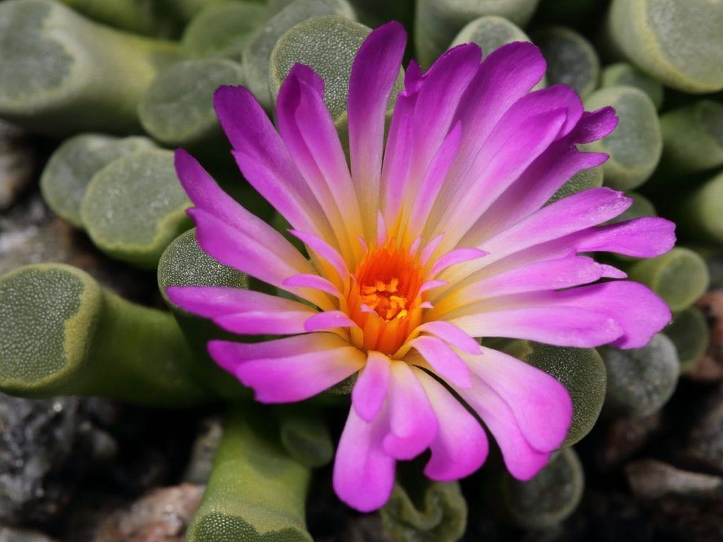 Frithia pulchra