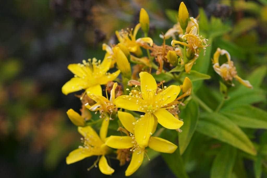 Hypericum canariensis