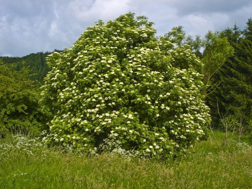 El saúco, al igual que el eucalipto, se usa para aliviar los síntomas de resfriados, gripes, asmas y de otros problemas respiratorios.