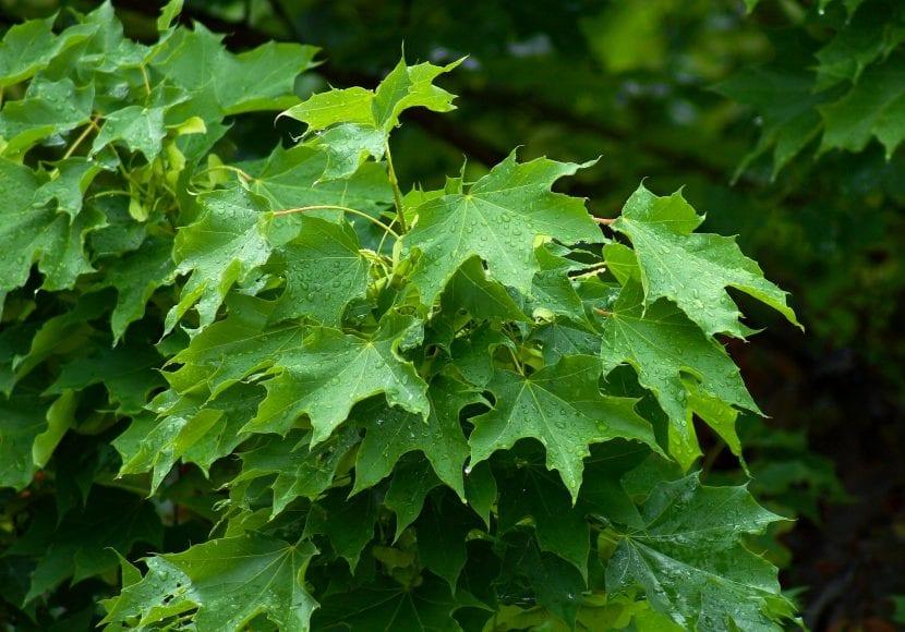 Hojas del Acer platanoides