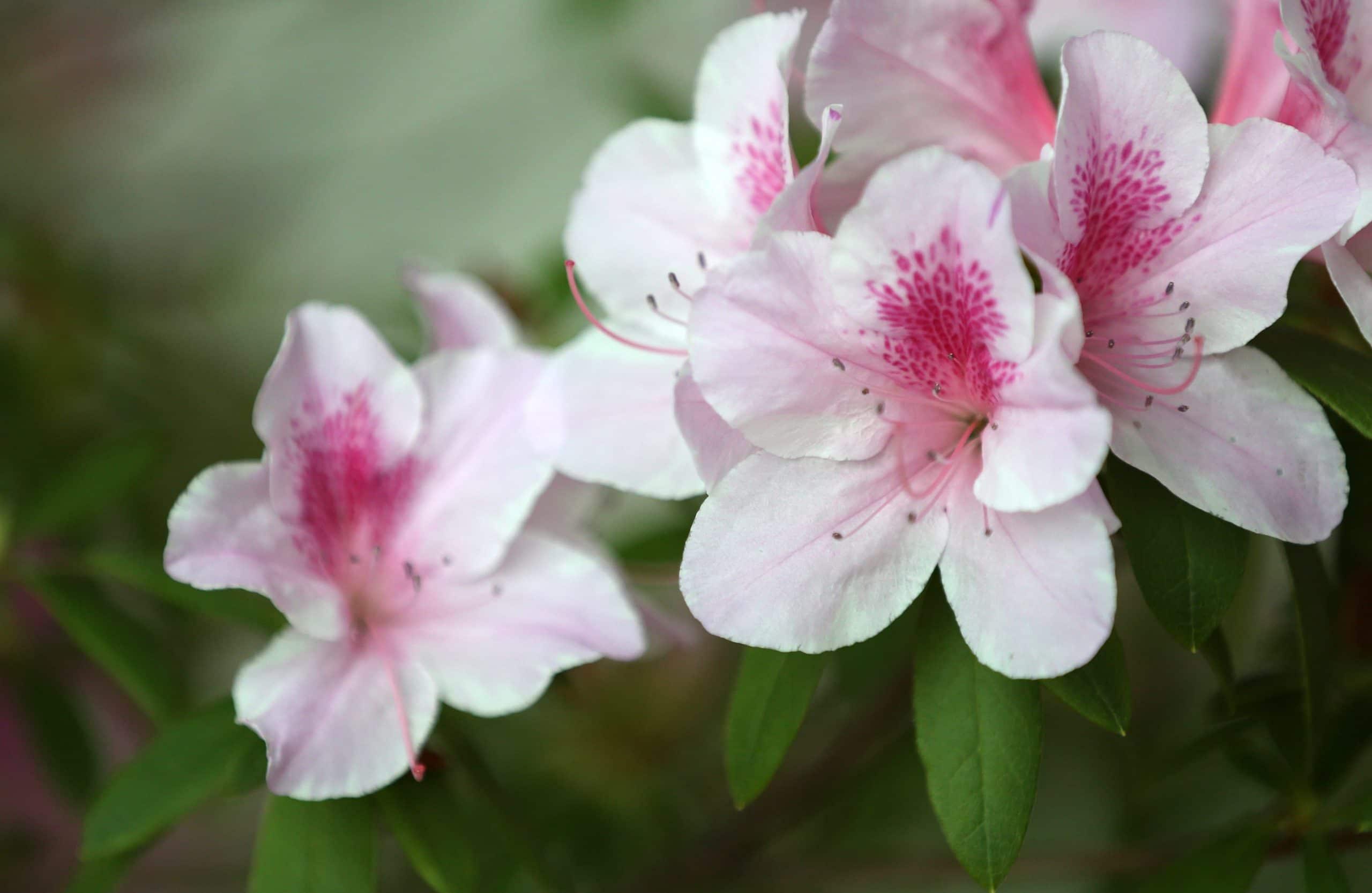 Azalea en flor, un hermoso arbusto