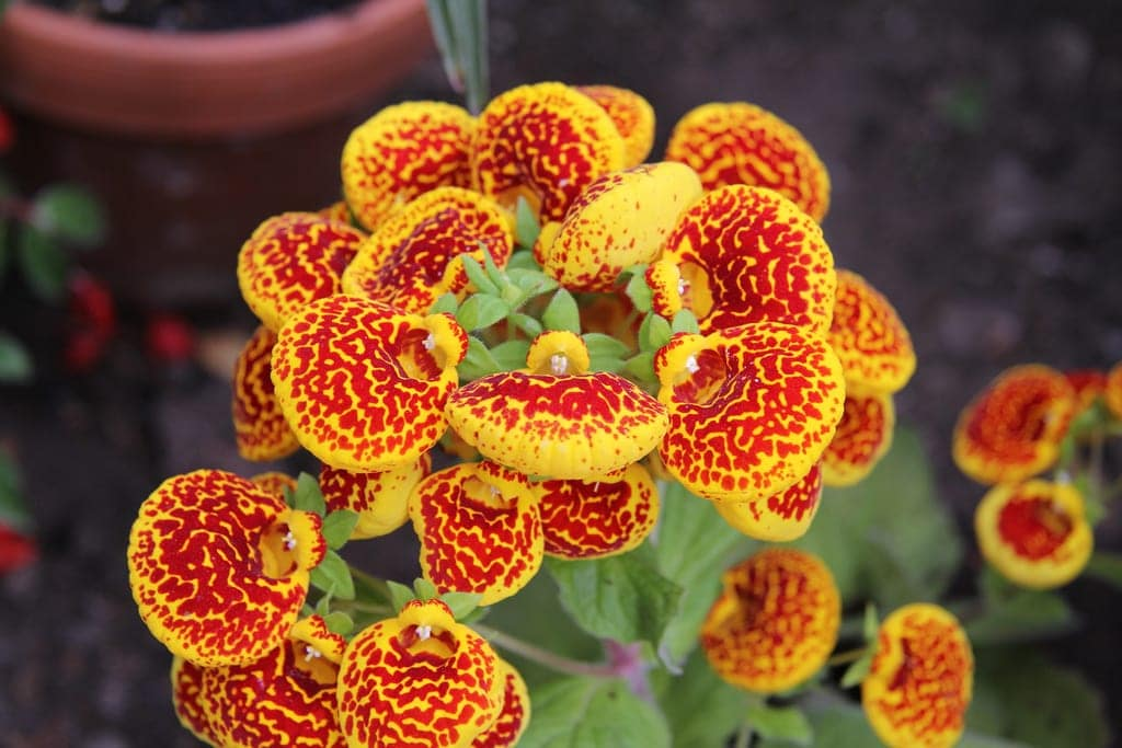 Calceolaria en flor