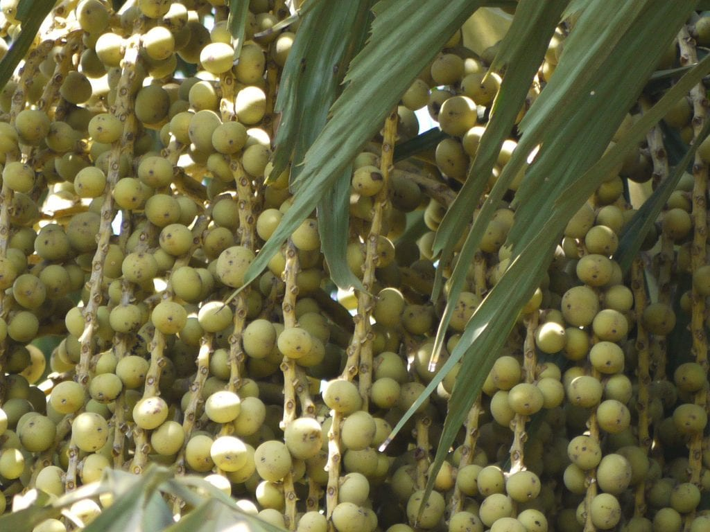 Caryota frutos