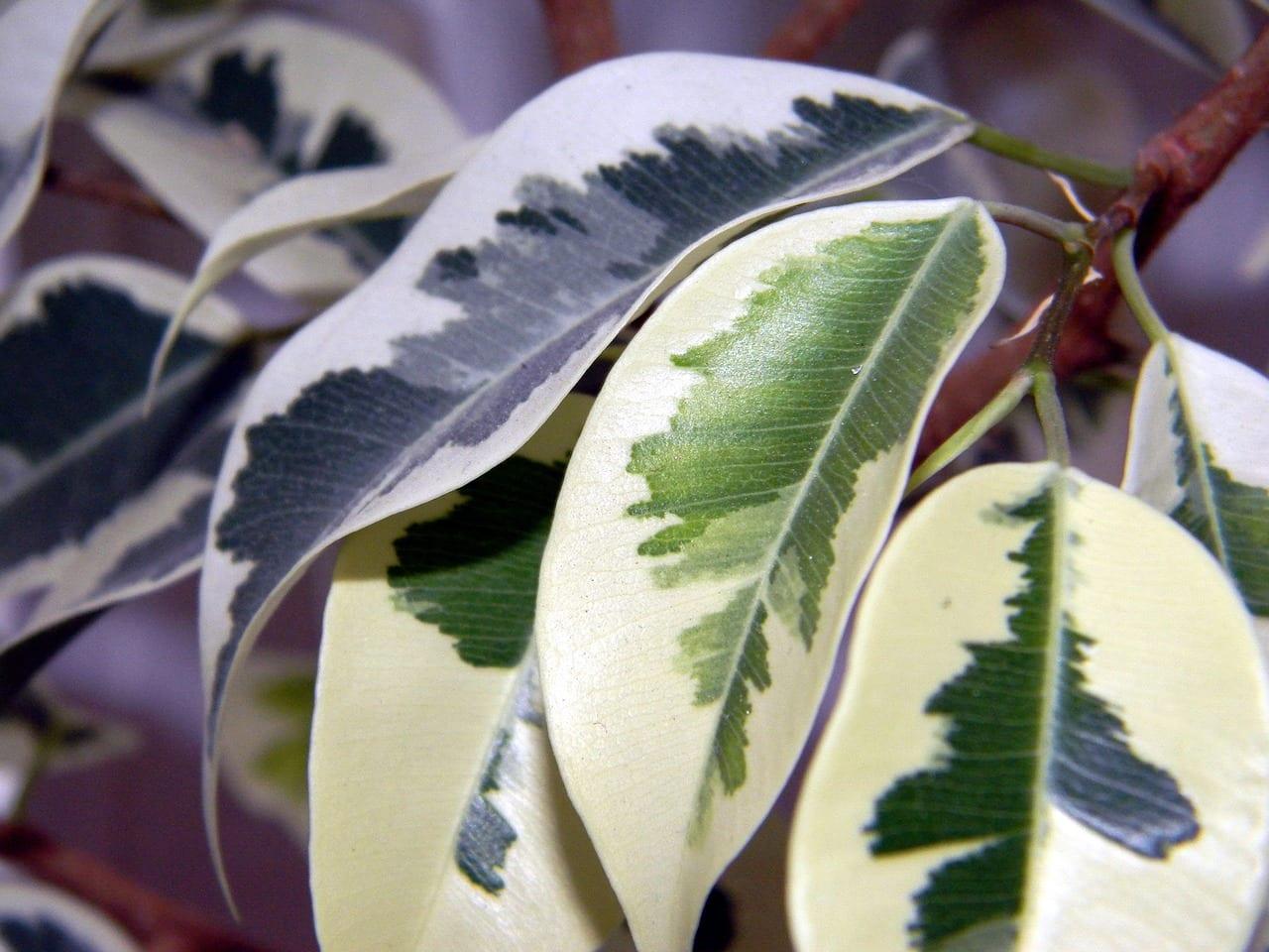 Árbol de Ficus