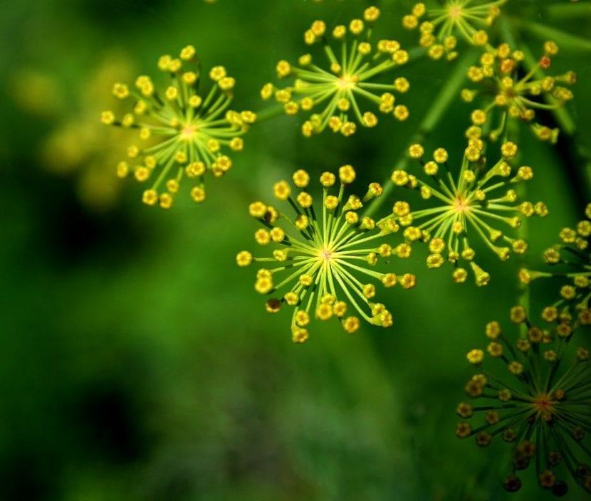 Flores de eneldo