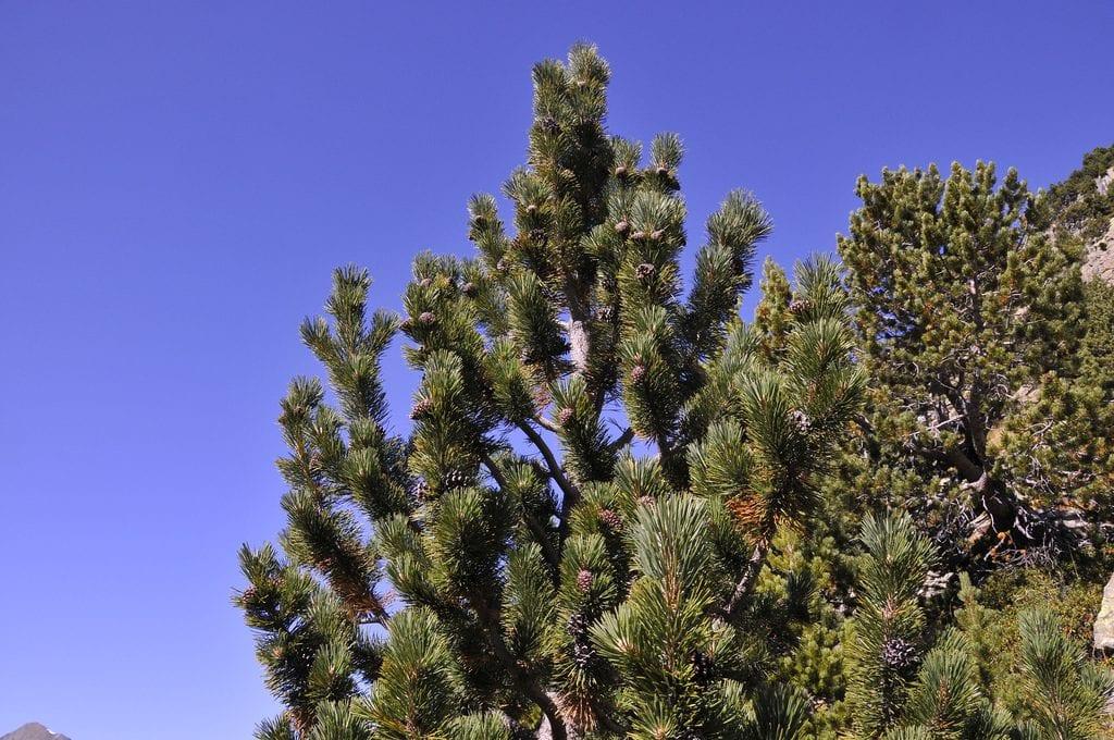 Pinus uncinnata