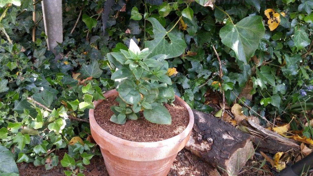 Planta en maceta de barro