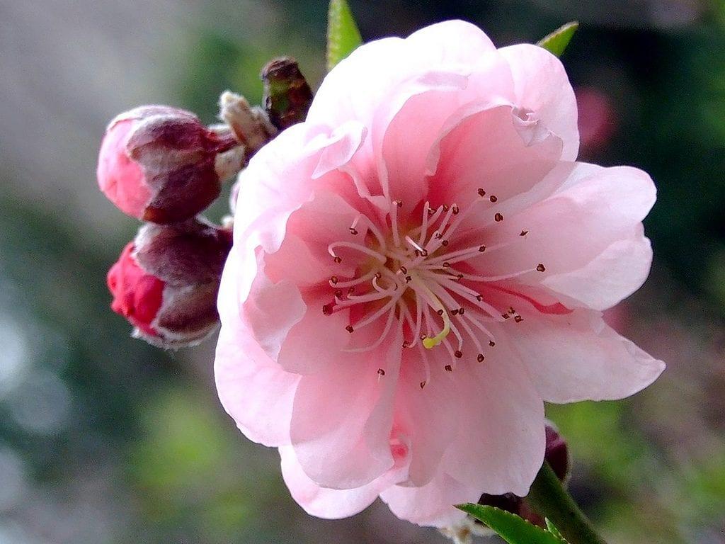 Prunus persica en flor