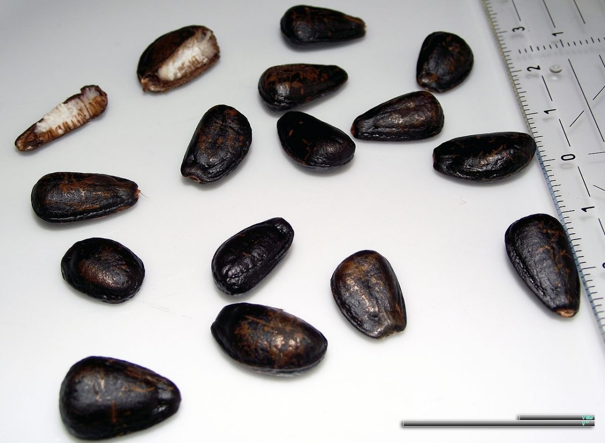 Las semillas de chirimoya son negras