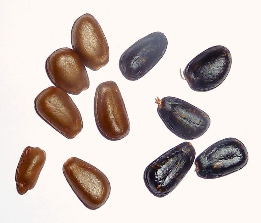 Semillas de Chirimoya